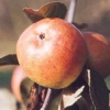 Picture of Apple Golden Reinette MM106
