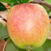 Picture of Apple Mother MM106