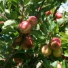 Picture of Apple Oratia Beauty MM106
