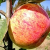Picture of Apple Peasgood Nonsuch MM106