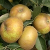 Picture of Apple Reinette Du Canada MM106