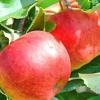 Picture of Apple Splendour M9