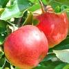 Picture of Apple Splendour MM102