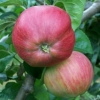 Picture of Apple Tom Putt MM106