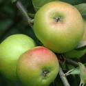 Picture of Apple Tple Bram/Boskoop/Peasgood