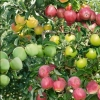 Picture of Apple Tple Splen/Royal Gal/Gran Smith MM106