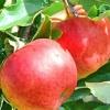 Picture of Apple Tple Splendour/Royal Gala/Braeburn