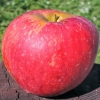 Picture of Apple Tydemans Late Orange MM106