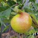 Picture of Apple Wandin Glory Weeping
