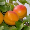 Picture of Apricot Castlebright