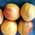 Picture of Apricot Cluthalate GQ