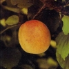 Picture of Apricot Earliril