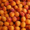 Picture of Apricot Fitzroy MB