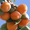 Picture of Apricot Goldrich
