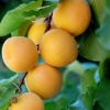 Picture of Apricot Moorpark