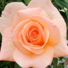 Picture of Apricot Nectar-Rose