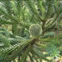 Picture of Araucaria Angustifolia