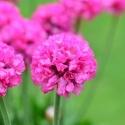 Picture of Armeria Amazing Rose