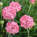 Picture of Armeria Dreamland