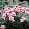 Picture of Armeria Pink Petite