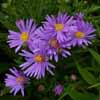 Picture of Aster Lady In Blue