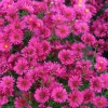 Picture of Aster Royal Ruby