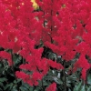 Picture of Astilbe Fanal