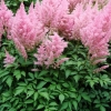 Picture of Astilbe Gloria