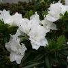 Picture of Azalea Alaska