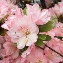 Picture of Azalea Apple Blossom