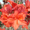 Picture of Azalea Brilliance