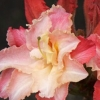 Picture of Azalea Caroline De Rothschild