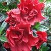 Picture of Azalea Crimson Delight