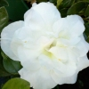 Picture of Azalea Hardy Gardenia