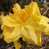 Picture of Azalea Melford Lemon
