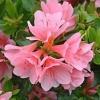 Picture of Azalea Peach Kirin