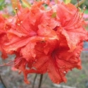 Picture of Azalea Red Giant