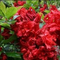 Picture of Azalea Red Rag
