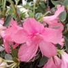 Picture of Azalea Splendens