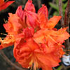 Picture of Azalea Tangerine Pom Pom