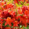 Picture of Azalea Vulcan