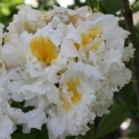 Picture of Azalea White Ice