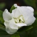 Picture of Azalea White Schame