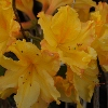 Picture of Azalea Yellow Ball
