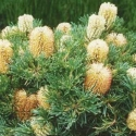 Picture of Banksia Birthday Candles