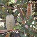 Picture of Banksia Ornata Grey