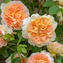 Picture of Bathsheba Clg-Rose