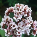 Picture of Bergenia Silberlicht
