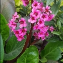 Picture of Bergenia Wanaka Wine
