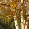 Picture of Betula Costata